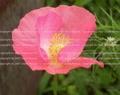 Pink Poppy, Digital Photo by Jessie Kenyon/print  many copies