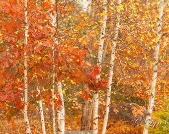 Birches -  Nature, landscape photography, fall, autumn, birch trees, fine art, leaves, art, rustic decor, home decor, new england