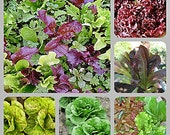 Best Heirloom Lettuce Seed  Collection Non-GMO Naturally Grown Open Pollinated Gardening