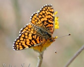 Orange Butterfly Photo, nature photography, Checkerspot butterfly on flower, country wall décor, fine art print