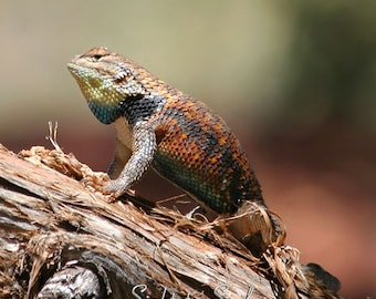 Southwest Lizard Photo, Reptile Lover Gift, Southwestern Art, Rustic Home Decor, Nature Wall Art, Reptile Photography