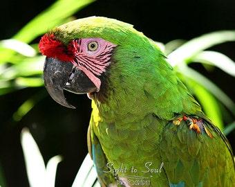 Green Parrot Print, bird photography, tropical nature art, Military Macaw photo, fine art photograph
