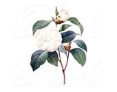 CAMELLIA Instant Download, wedding clipart, white flowers, flower digital downloads, printable botanical illustration Redoute 282