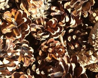 Pine Cones (200)