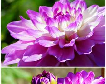 Dreamy Dahlia (Bright), Floral, Purple, Spring, Fine Art Photography, Wall Decor, SET OF TWO