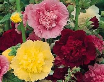 Heirloom Hollyhock Majorette Mix Seeds, Perennial Flower, 10 Seeds