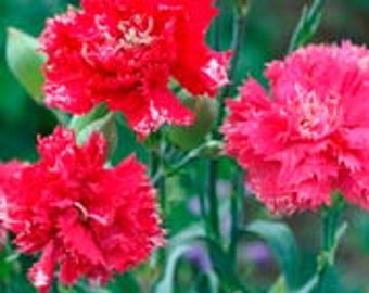 Heirloom Dianthus Chabaud Legion of Honour, Red Carnations, 20 Seeds