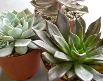 Succulent Large Rosette Plants 3 Live Potted
