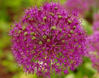 Purple Sensation,Flower In Bloom,Purple Flower,Allium Plant,Nature,Garden,Botanical Print,Floral Print,Photography,Canvas Art