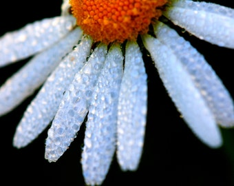 instant digital download picture, daisy photograph, flower photograph, macro photograph, nature photography, dew on flower photograph
