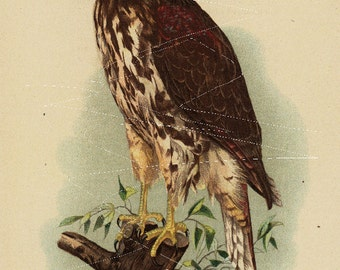 Antique Original  Natural History Colored Bird Print-  Red Shouldered Hawk