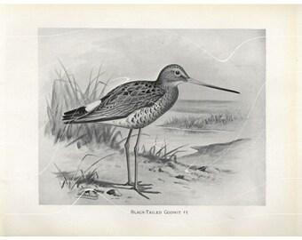 Original Antique Natural History Bird Print Black-Tailed Godwit  Bird - F.W. Frohwak