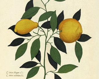 Lemon art print kitchen art print antique botanical art prints Vintage garden art print home decor wall art kitchen antique prints Fruit art