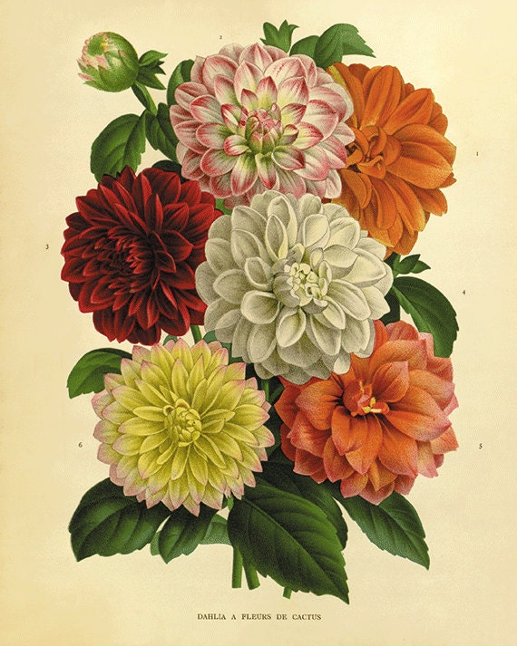 Dahlia art antique prints flower art print botanical prints