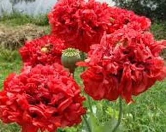 "Poppy seeds "" Scarlet Red Peony Flowered Poppy"" flower seeds"