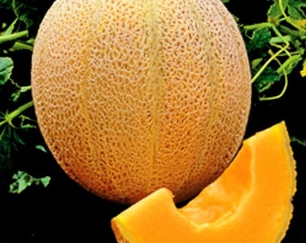 35 - Heirloom Cantaloupe or Muskmelon Seeds - Hale's Best - Heirloom Muskmelon Seeds, Hales Best Cantaloupe Seeds, Hales Best Muskmelon Seed