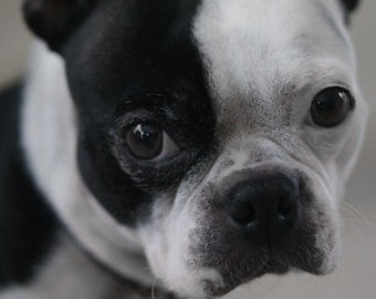Digital Photo Download, Dog Photo, Boston Terrier Photo, Digital Photography, Animal Photo, Instant Download, Rustic Photo