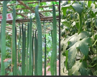 """Luffa Angled Seeds """"Smooth"""" (Asian vegetable)  Edible Luffa, Chinese okra, The buds, shoots and young leaves are also edible."""