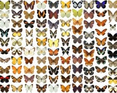 50 Dried Unmounted Butterflies, A1 condition, Taxidermy. Pack of 50 Papered Butterflies.