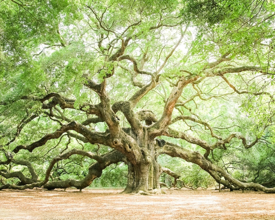 charleston art low country live oaks angel oak fine art print - Spa Decor