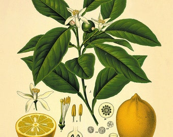 Lemon art print kitchen art  print antique botanical art prints Vintage garden wall art home decor wall art antique wall art Victorian art