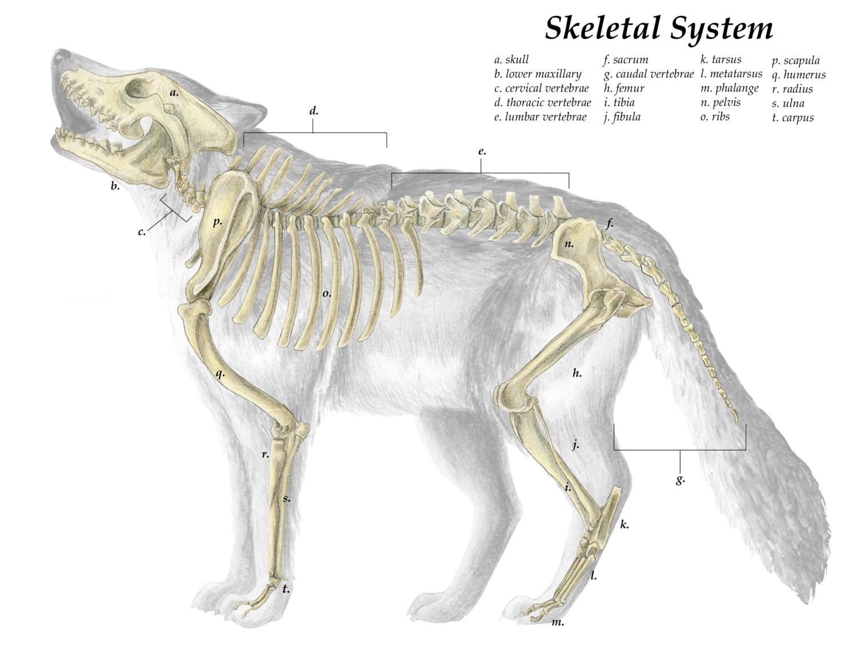 Grey wolf anatomy 3659601 - follow4more.info
