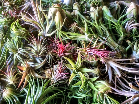 Air plants 25 wholesale variety mix by greenwichcottage on for Cheap air plants