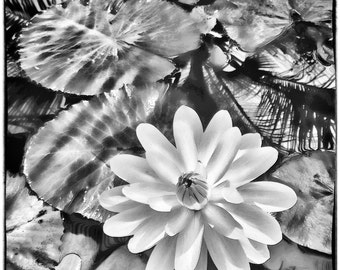 Black and White Lily, Lily Pads, Tropical Reflection, Water