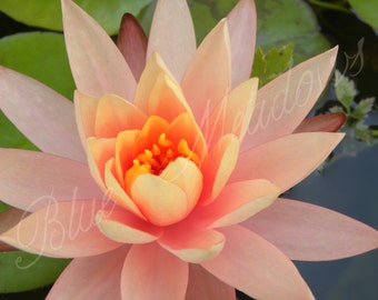 Pink water lily, nautre photography, digital art, pink, nature, wall art, flower, spring