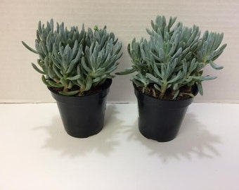 Medium Succulent Plant Senecio Repens Blue Chalk Sticks