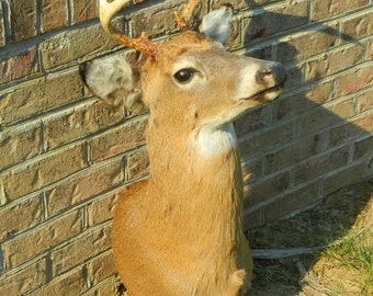 Another Beautiful Deer Mount With 6 Point Antler Rack