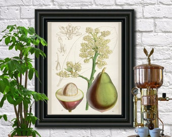 Avocado antique botanical print Vintage Plant illustration Kitchen wall art circa 1851.  0355