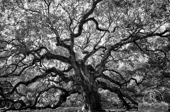 Angel Oak Wall Decor Fine Art Photography Tree Large Print