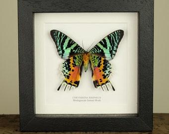 Madagascan Sunset Moth in Black or White Frame (Chrysiridia rhipheus)