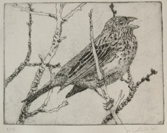 Drypoint etching - Corn bunting