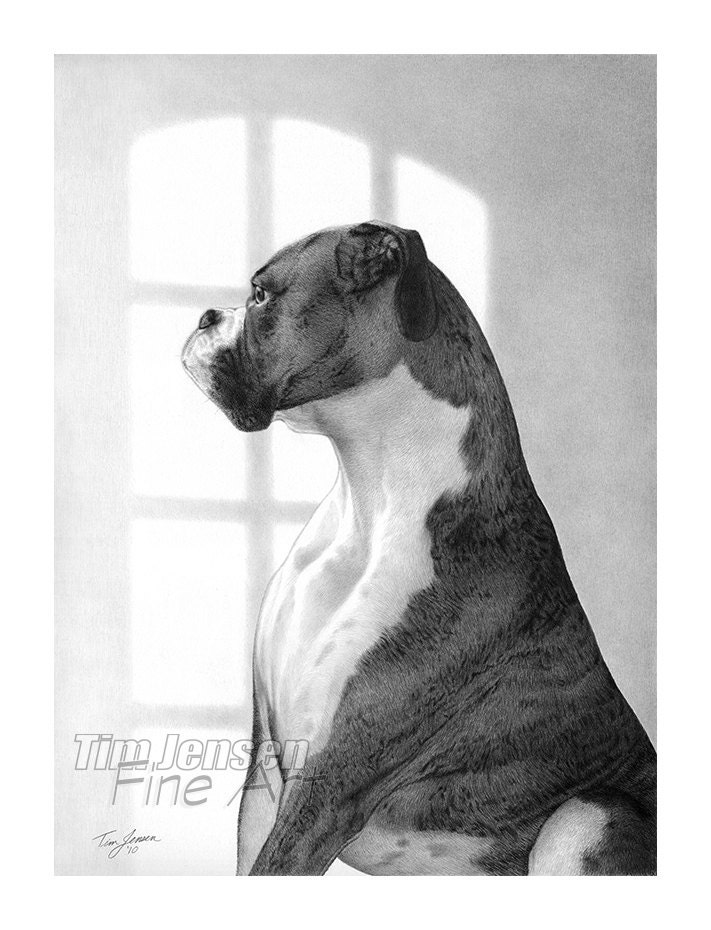 Chien boxer majestueux attend avec impatience par la fen tre - Dessin chien boxer ...