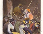 Old world monkey original 1922 zoology print - Monkey species, primates, guenon - 93 years old German antique lithograph illustration (A201)