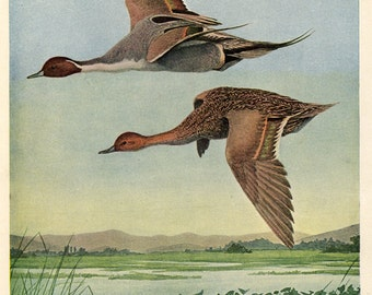 Water Birds - Pintail Ducks by Louis Agassiz Fuertes, Antique Print
