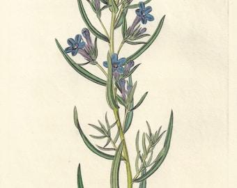 Rosemary-leaved Gromwell - botanical engraving, native of Capri, Italy, 1834
