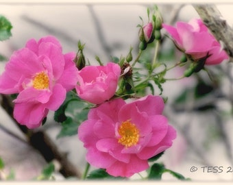 Rose Photography Country Rose Photo  Pink Rose - Great Greeting Card Photo