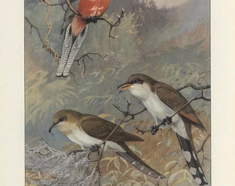 Cuckoo:  Black-billed, Yellow-billed, Vintage Bird Print, Brooks, Ornithology 85, 1939, Forest Cabin Decor, Country Cottage