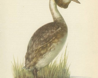 Great Crested Grebe, Vintage Bird Print, 8 x 10, Ornithology 65, 1962, Demartini, Hunting Decor, Rustic Cabin Decor, Library Office Decor