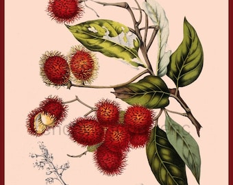 antique french botanical print rambutan tropical fruits illustration DIGITAL DOWNLOAD