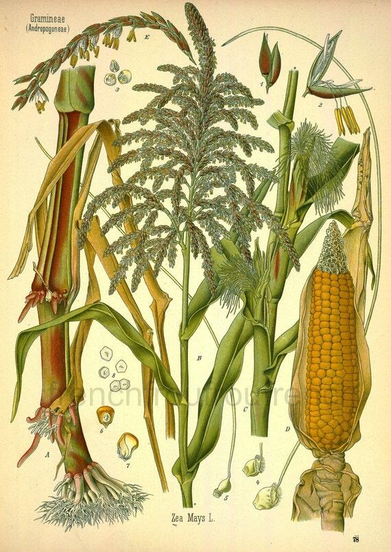 antique botanical print corn plant and fruit illustration