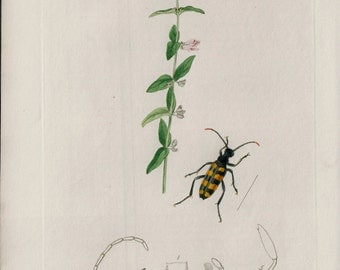 1824 Antique PLANT and INSECT print, Less scull cap, lovely naturalist engraving