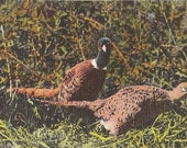 Pheasants from Wild Life Series Curt Teich Postcard - Vintage Linen Postcard Souvenir Hunting Memorabilia - Birds Hunting Postcard