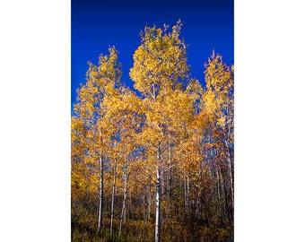 Colorful Golden Color Northern Michigan Birch Trees in Autumn against a Deep Blue Sky No.FS1 Fine Art Fall Vertical Landscape Photograph