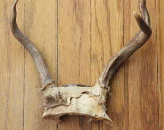 Vintage 50's 3 Point Deer Anter with Partial Skull Plate