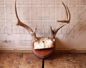 Vintage Mounted Set of Deer Antlers with Skull Cap - Great Guy Gift!