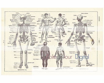 "Human anatomy skeleton old illustration Digital file colored French dictionary plate - 8.5 x 11"" - Instant Download"